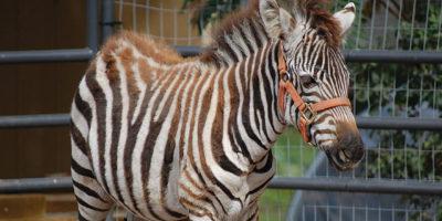 exotic-wildlife-zebra-2